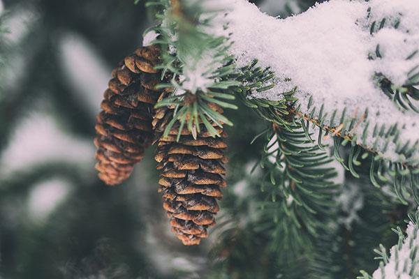 Tannenzapfen im Winter